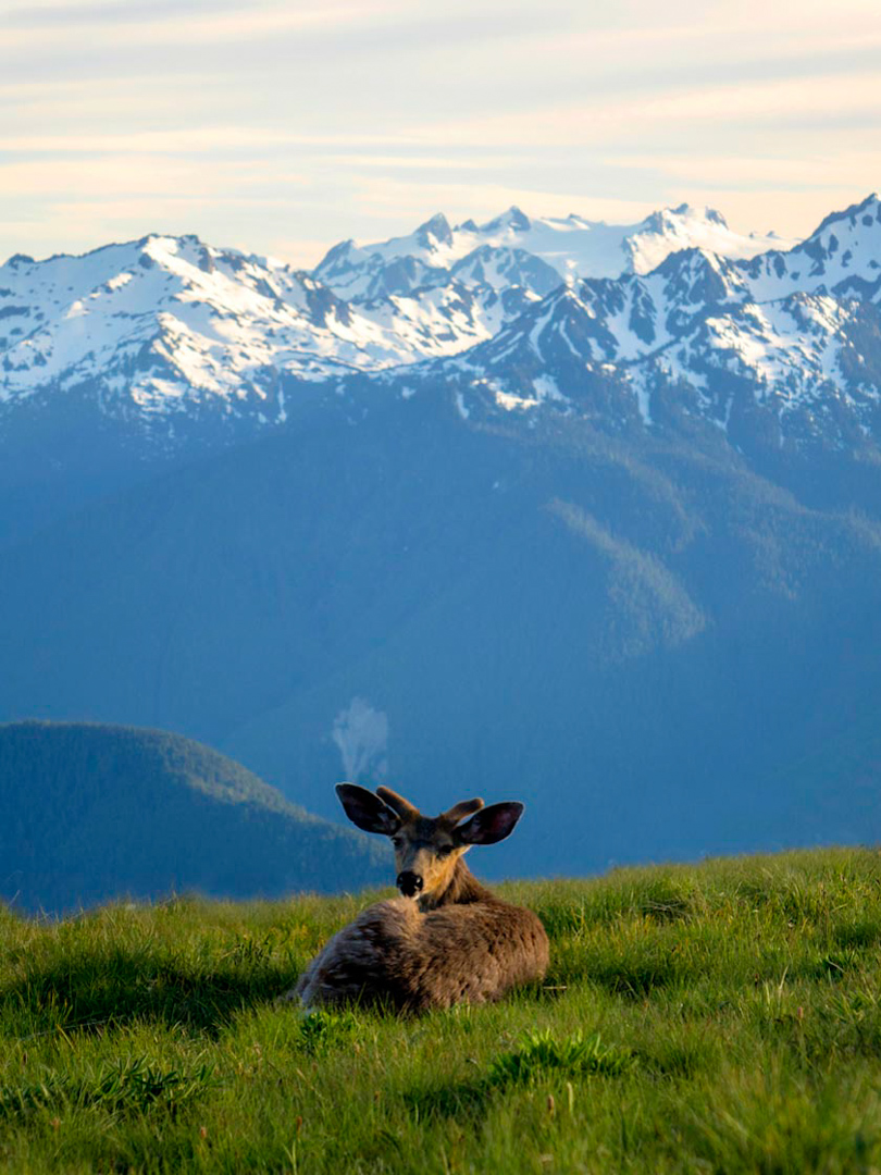 Buck at Hurricane Ridge, Olympic National Park, WA