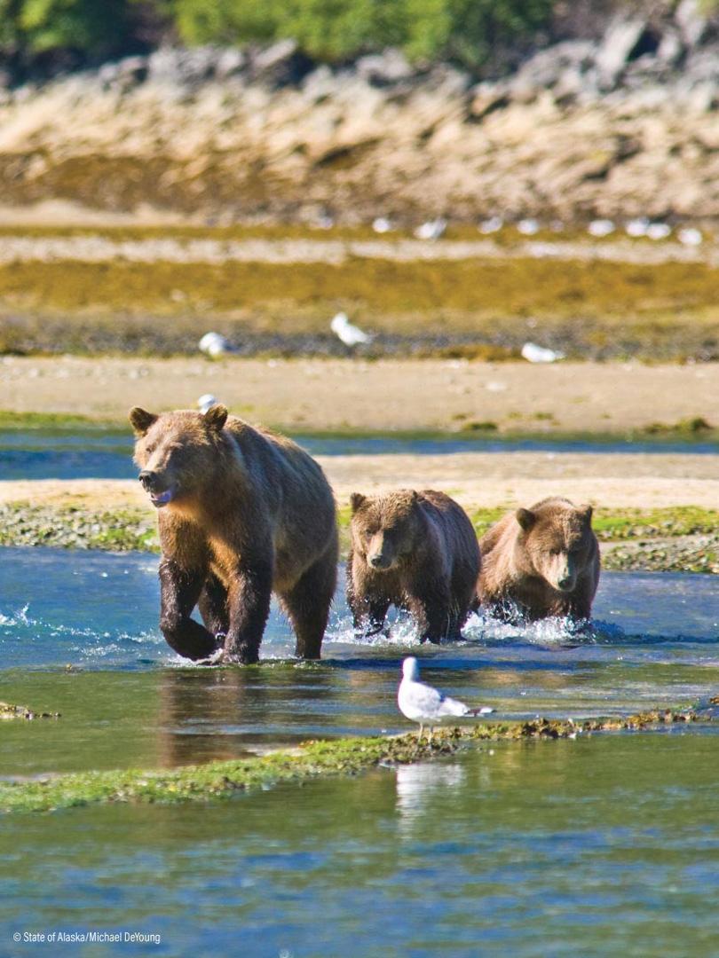 WIldlife in Alaska, Bears