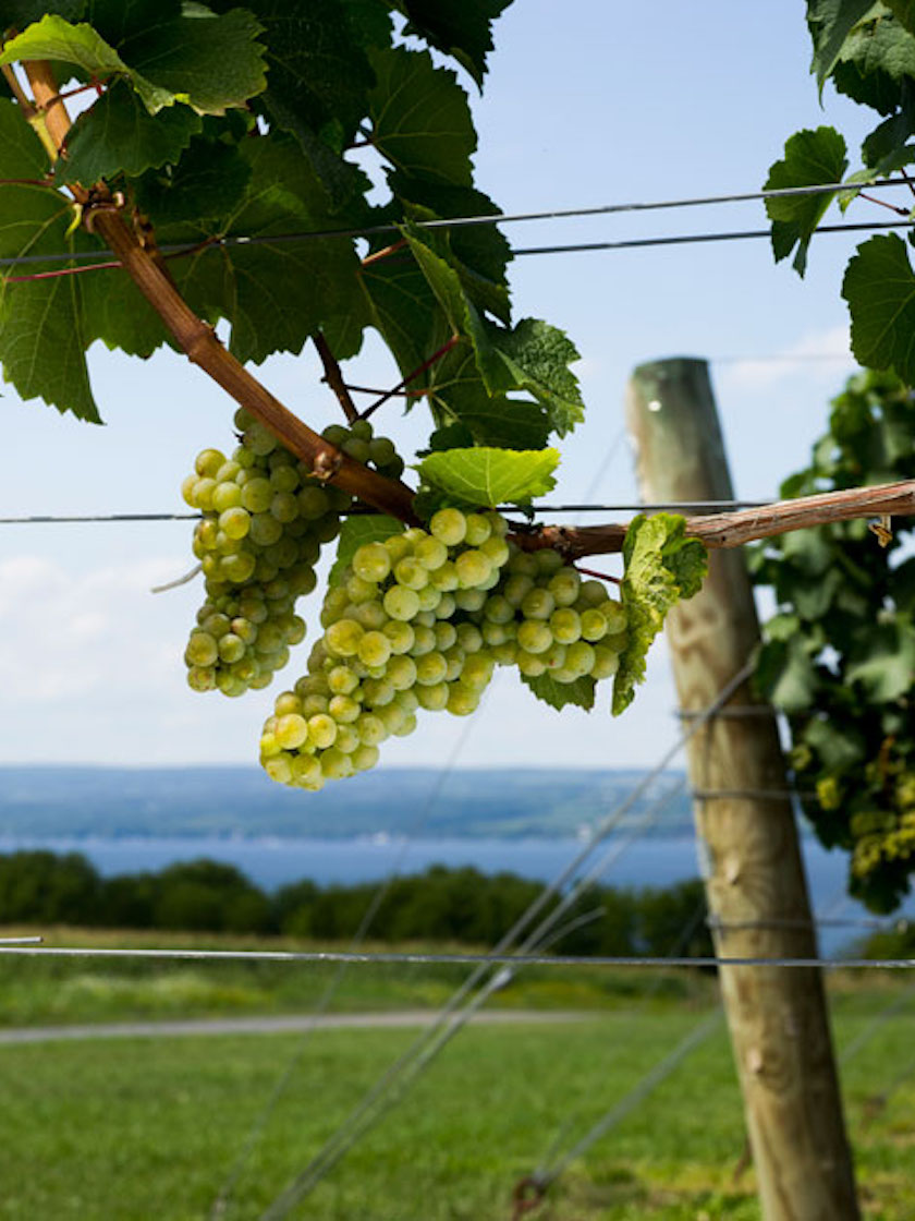 Riesling Grapevines - Finger Lakes, Boundary Breaks Vineyards, Lodi, NY