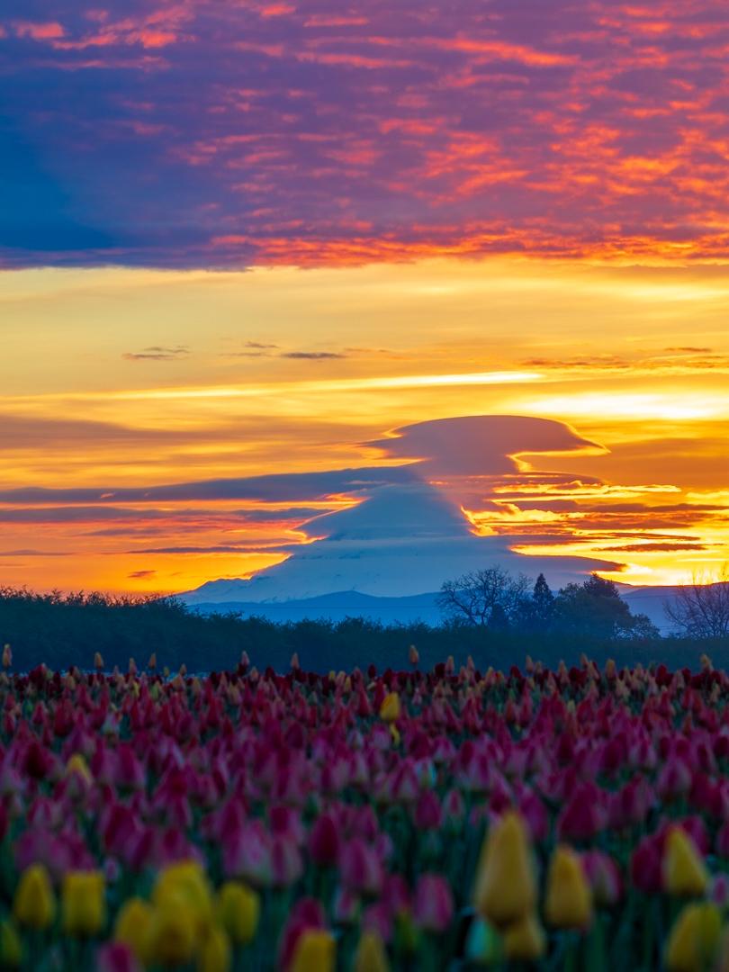 Wooden Shoes Tulip Farm & Vineyard, Woodburn, Oregon