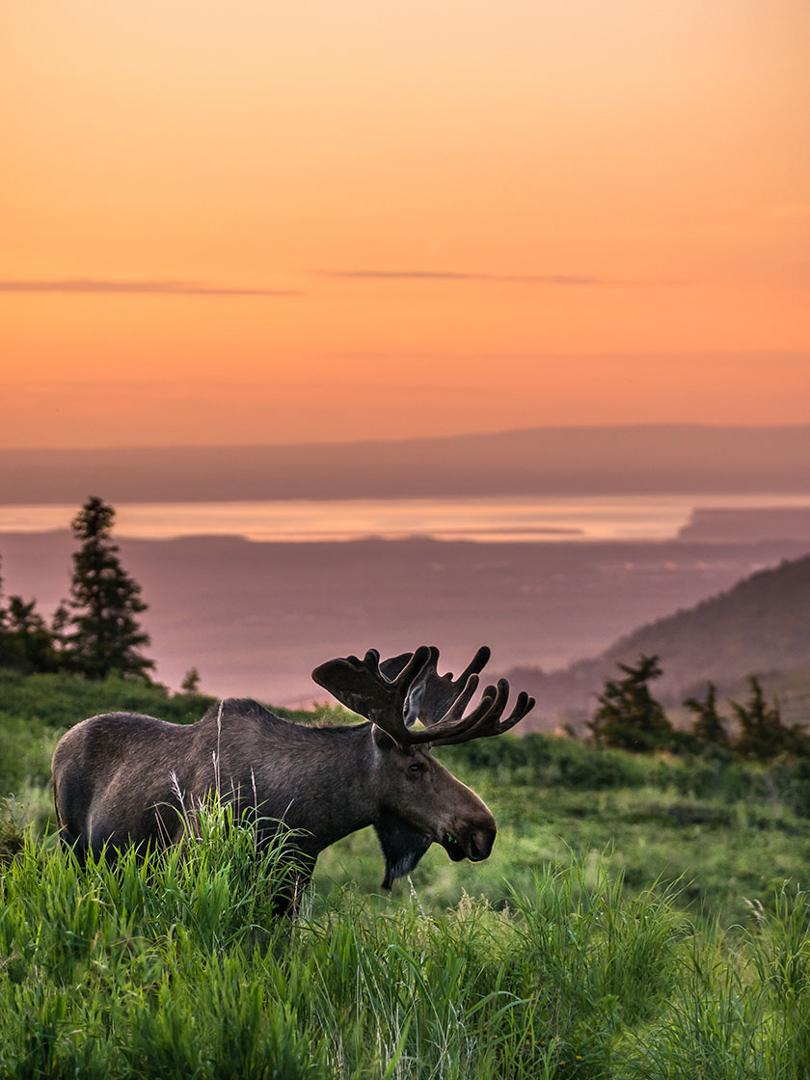 Glen Alps Moose, Anchorage, AK